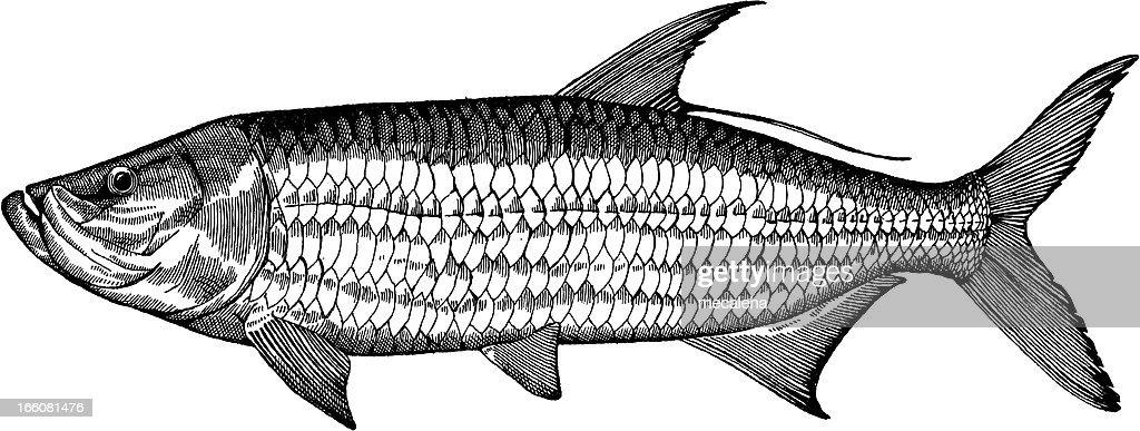 Tarpon Fish Drawing Vector Art   Getty Images