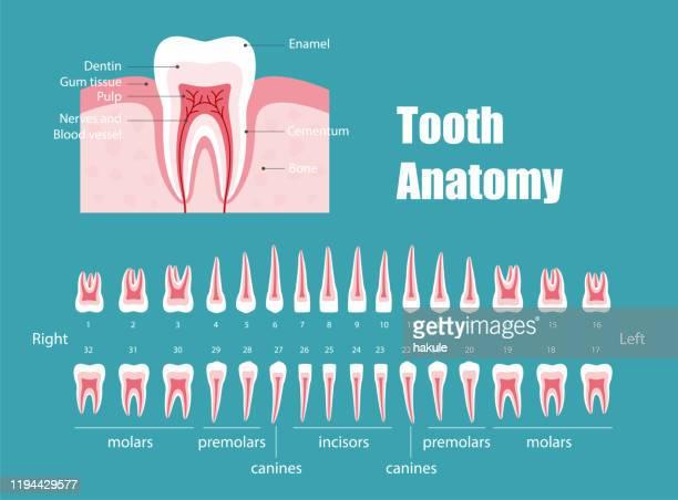 teeth anatomy, vector illustraion - dentin stock illustrations