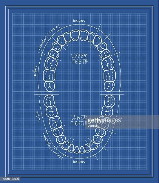 teeth chart blueprint - oral care stock illustrations