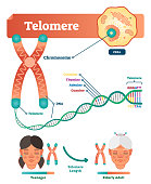 Telomere vector illustration. Educational and medical scheme with cell, chromosome and DNA. Labeled anatomical diagram with cytosine, thymine, adenine and guanine.
