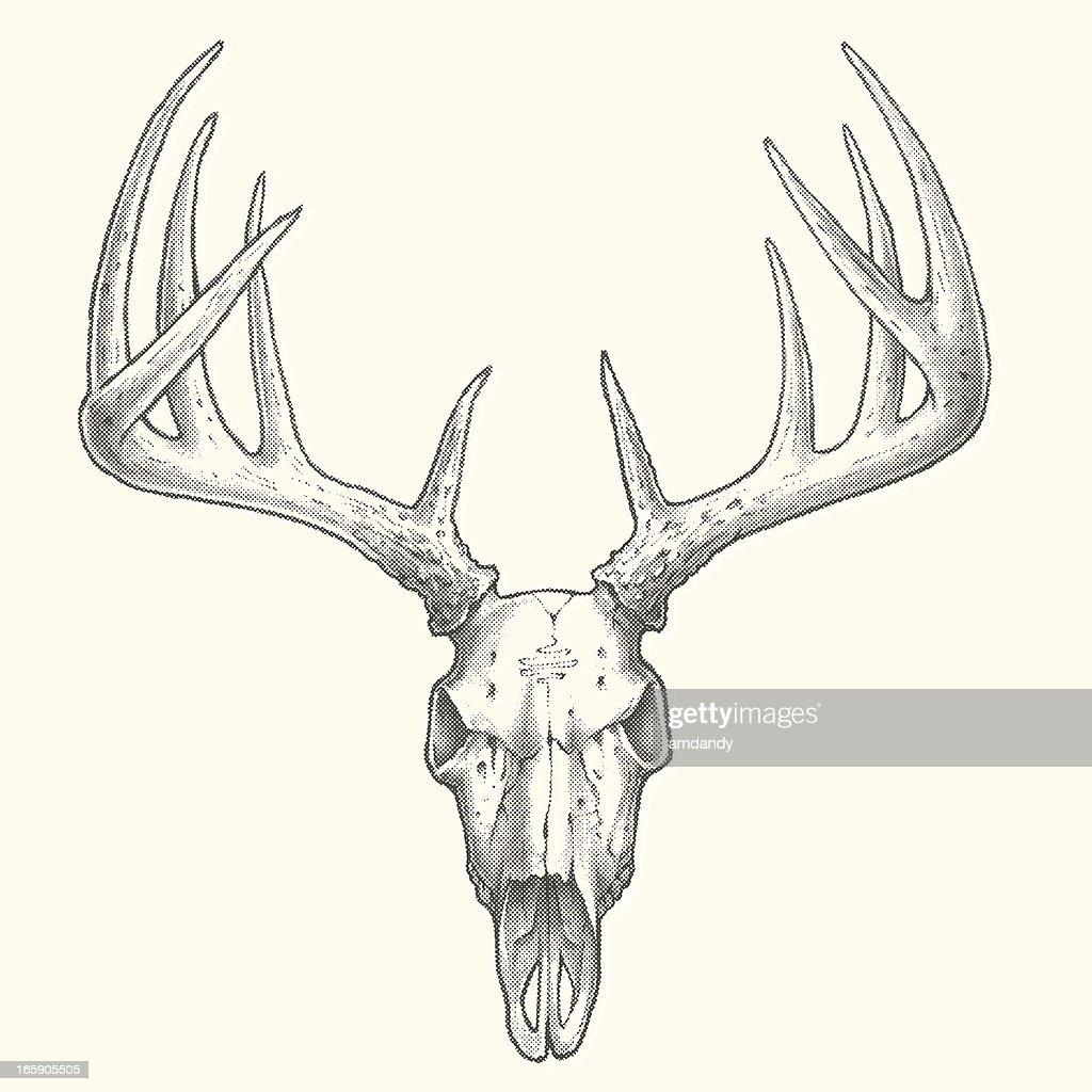 Ten Point Deer Skull