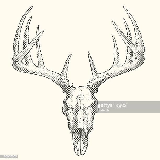 World S Best Deer Skull Stock Illustrations Getty Images