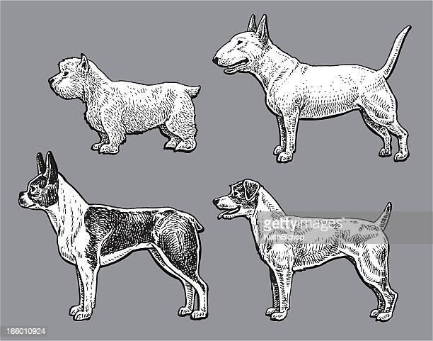 terrier dogs - bull, west highland white, jack russell, boston - boston terrier stock illustrations