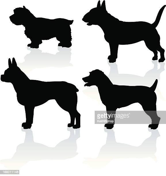 Perros-Bull Terrier escocés blanco, West, Jack Russell, Boston