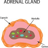 The anatomical structure of the adrenal gland. Vector illustration