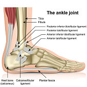 The ankle joint, tendons of the ankle joint foot anatomy vector illustration