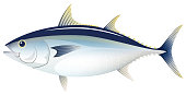 The bluefin tuna, isolated on the white background.