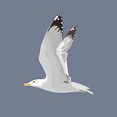 The common seagull mew gull European herring gull. Vector illustration. Element for your design.