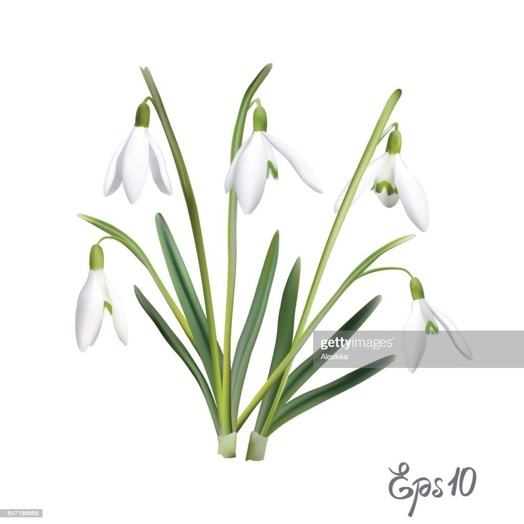 The first snowdrops Galanthus
