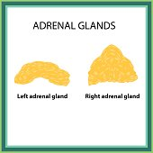 The left and right adrenal gland. Infographics. Vector illustration on isolated background