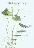 The Life Cycle of a Frog Illustration.