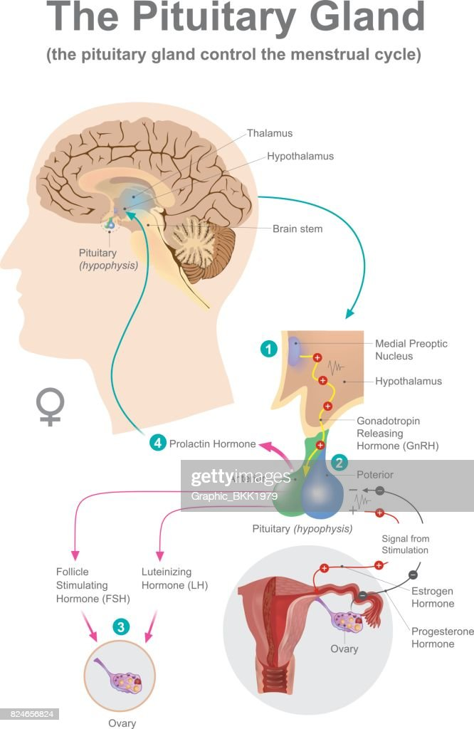 The Pituitary Gland Women Vector Art Getty Images