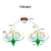 The process of cross-pollination with bee