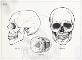 The skull. Medical illustration