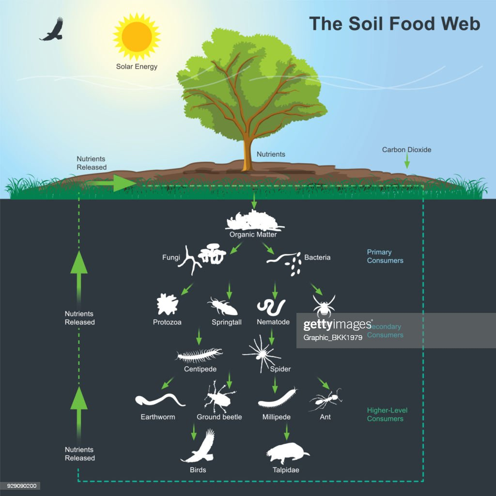 The Soil Food Web diagram. Illustration info graphic.
