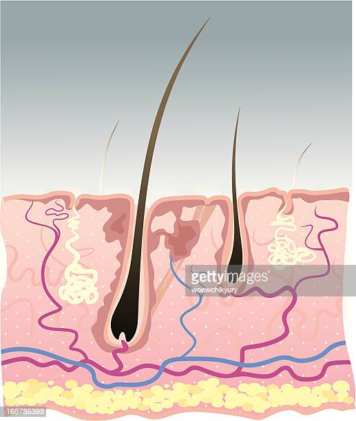 the structure of human skin - tissue anatomy stock illustrations, clip art, cartoons, & icons