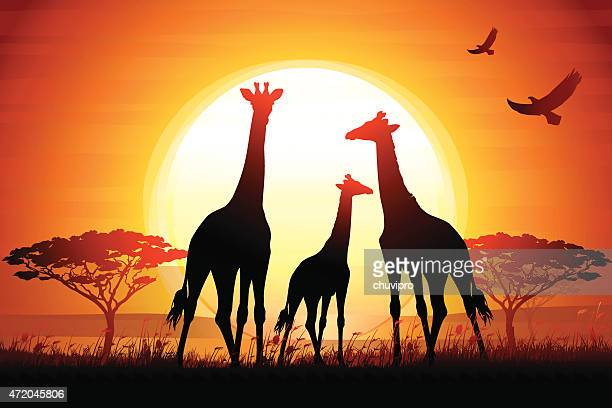 Three Giraffes silhouettes safari in savanna against hot sun