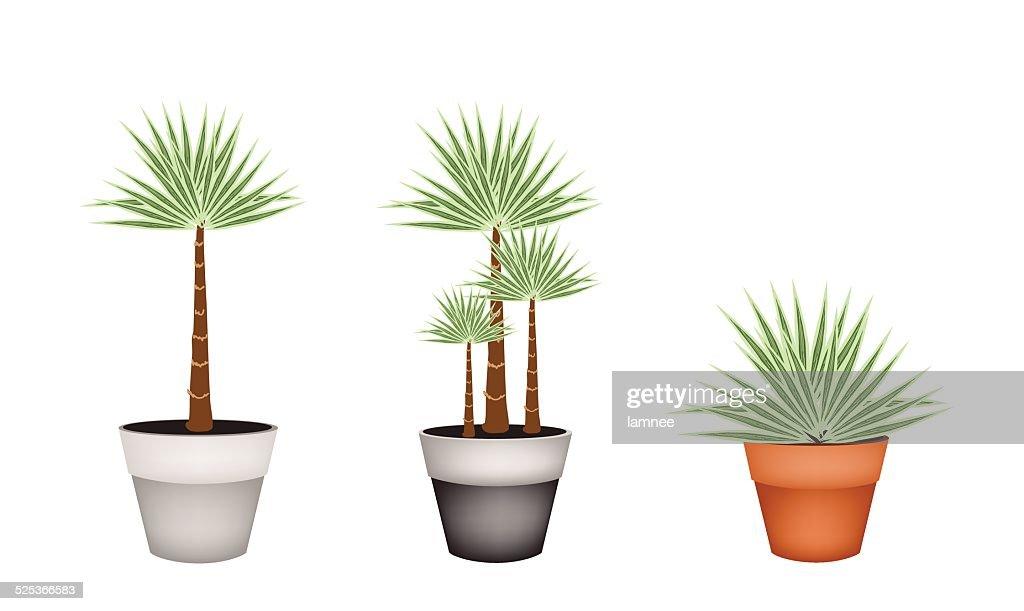 Three Palm Trees in Ceramic Flower Pot
