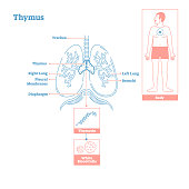 Thymus gland of Endocrine System. Medical science vector illustration diagram
