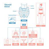 Thyroid Gland of Endocrine System. Medical science vector illustration diagram.