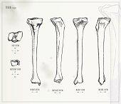 Tibia. Medical Illustration