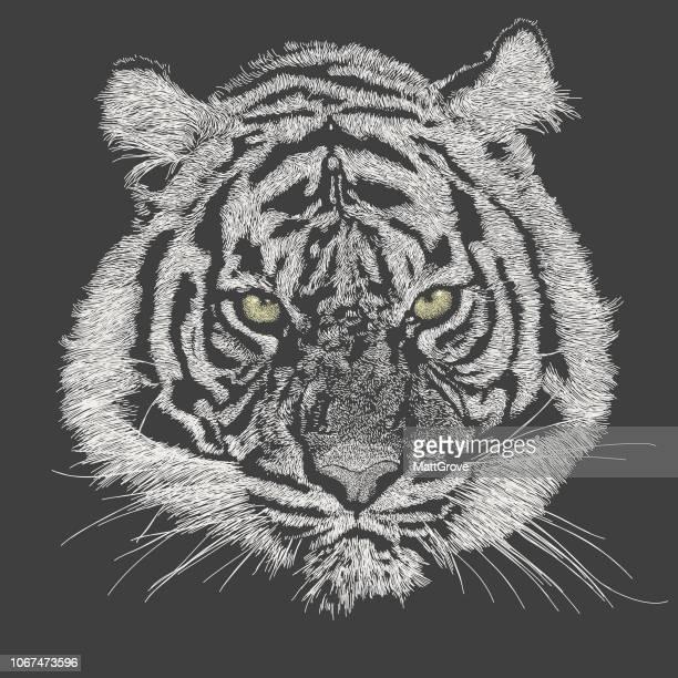 ilustraciones, imágenes clip art, dibujos animados e iconos de stock de cara de tigre - tigre