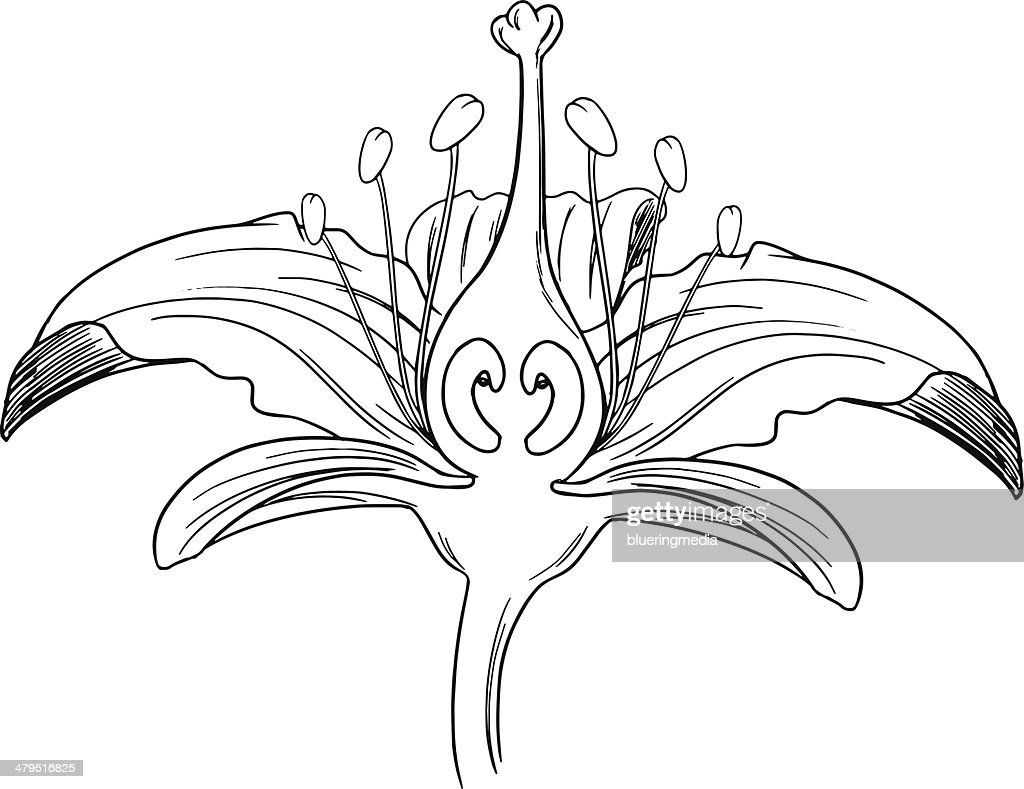 Tiger lily flower outline