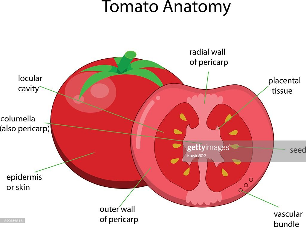 Diagram of a tomato simple electronic circuits contemporary tomato plant anatomy crest anatomy and physiology rh stockmarketresources info diagram of a tomato flower ccuart Gallery