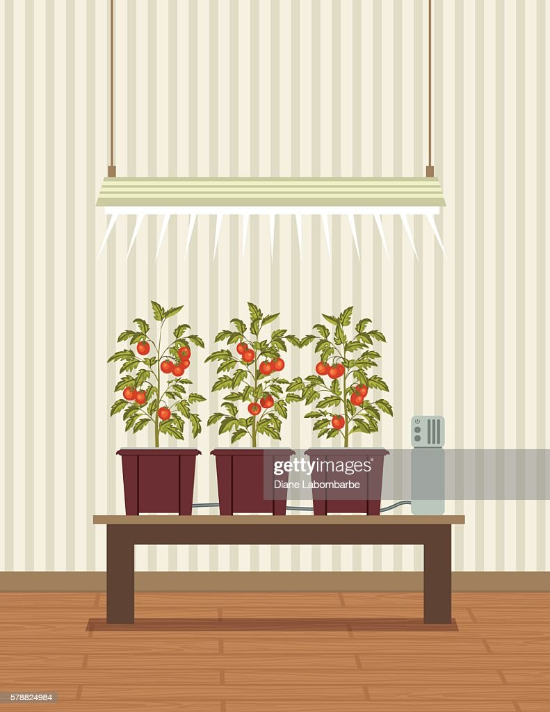tomato_plants_IoT_hydroponic_growing_2