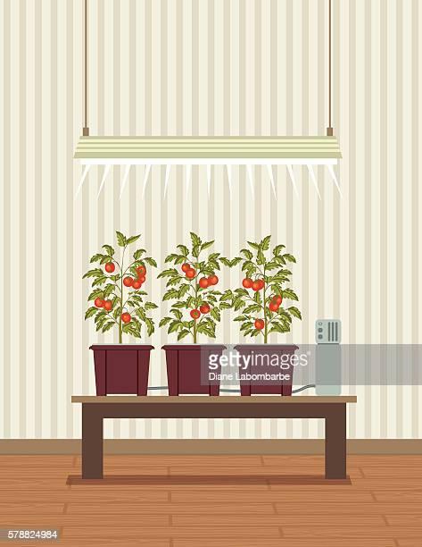 tomato_plants_IoT_hydroponic_growing_2