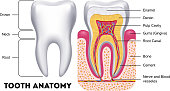 Tooth anatomy vector dental infographics