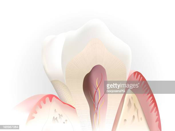 tooth section - human teeth stock illustrations