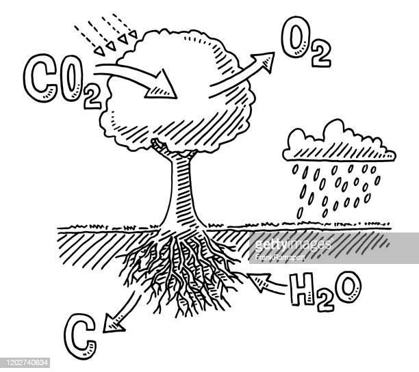 tree carbon dioxide absorption infographic drawing - photosynthesis stock illustrations