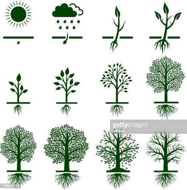 tree growing growth life cycle royalty free vector icon set - root stock illustrations, clip art, cartoons, & icons