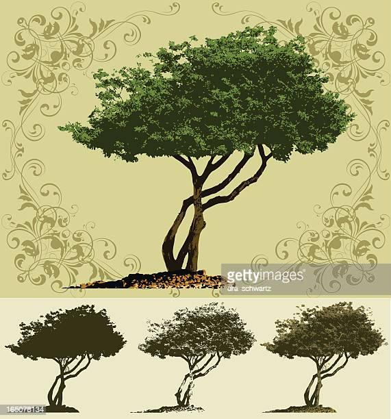 illustrations, cliparts, dessins animés et icônes de arbre - olivier