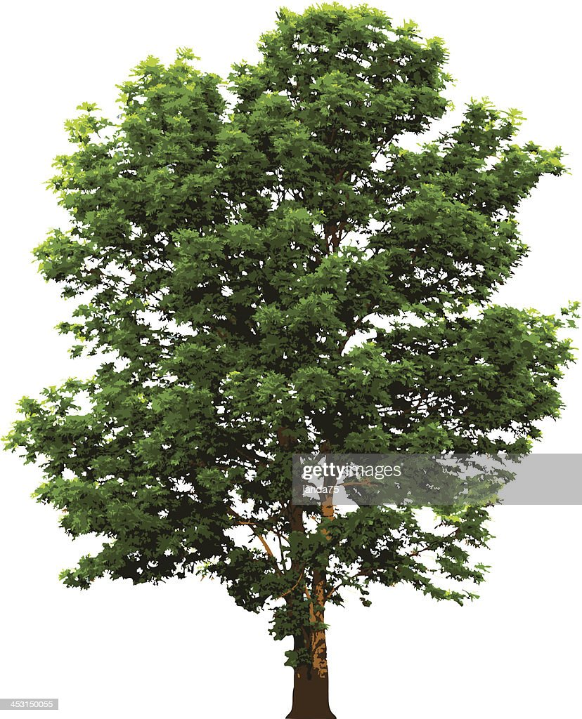 Tree with green leaves isolated on white