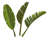 Tropical banana leaves isolated on white background. Vector illustration.
