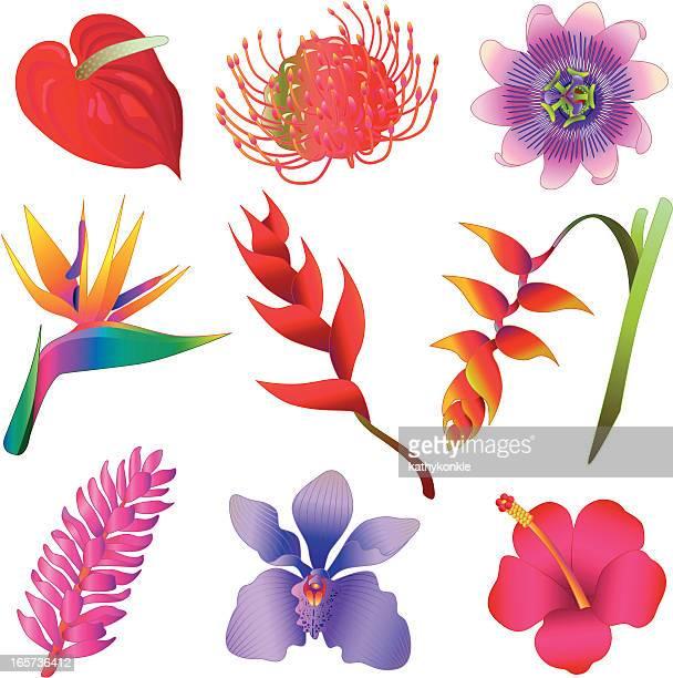 ilustraciones, imágenes clip art, dibujos animados e iconos de stock de flores tropicales - enredadera