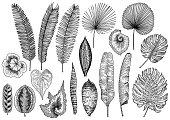 Tropical leaf illustration, drawing, engraving, ink, line art, vector