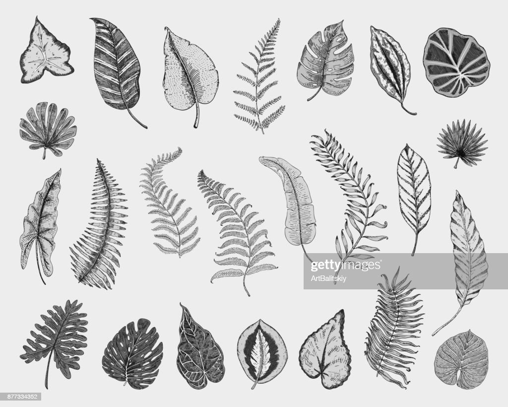 Tropical Or Exotic Leaves Leaf Of Different Vintage Looking Plants Monstera And Fern Palm With Banana Botany Set Flowers Engraved Vintage Hand Drawn Botanical Organic Product Green Background High Res Vector Graphic Bringing the best of exotic tropicals to you! https www gettyimages com detail illustration tropical or exotic leaves leaf of different royalty free illustration 877334352