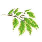 Tropical plant Ficus benjamina Variegated Ficus  branch on a white background vintage vector illustration  editable