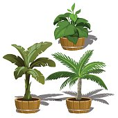 Tropical plants in buckets for office and home