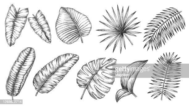 tropical plants leaves set - tropical tree stock illustrations