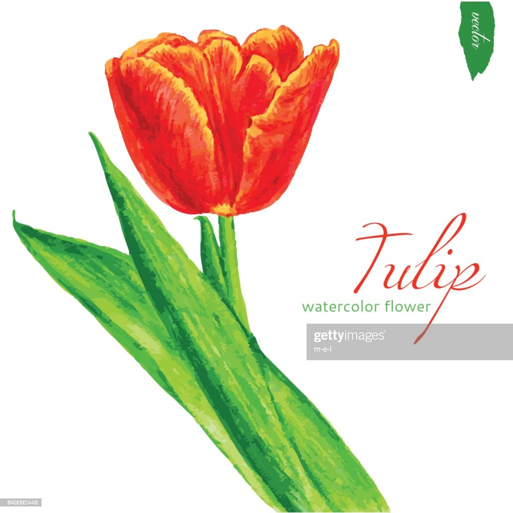 Tulip Flower Watercolor Illustration Isolated On White Background ...