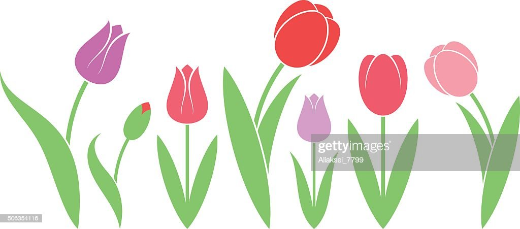 Tulip. Isolated flowers on white background