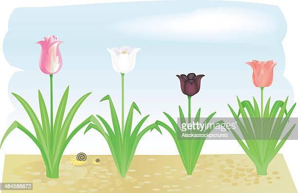 ilustrações de stock, clip art, desenhos animados e ícones de tulips_nice gardenflowers - caracol de jardim