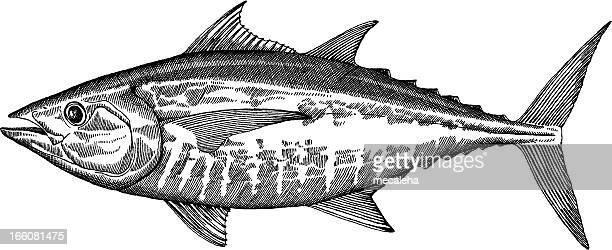 ilustraciones, imágenes clip art, dibujos animados e iconos de stock de atún de peces dibujo - bonito del norte