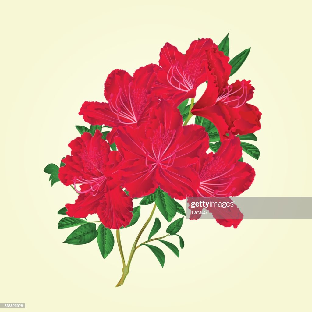 Twig red rhododendron   flowers and leaves   vintage botanical vector editable illustration