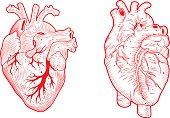 two anatomical hearts