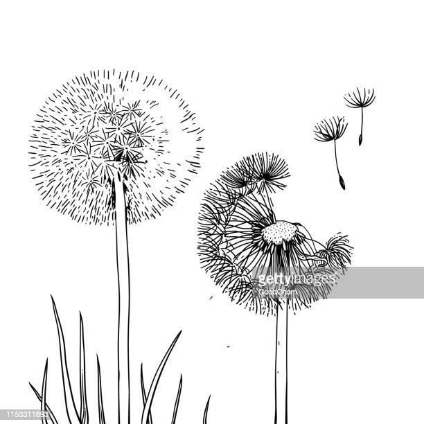 illustrations, cliparts, dessins animés et icônes de deux pissenlits - fleur de pissenlit